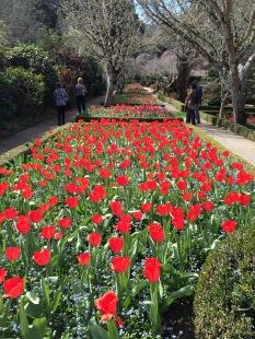Tulips at Filoli Gardens