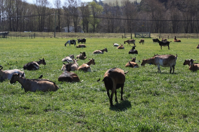 Visit to a Goat Farm in Pescadero, California