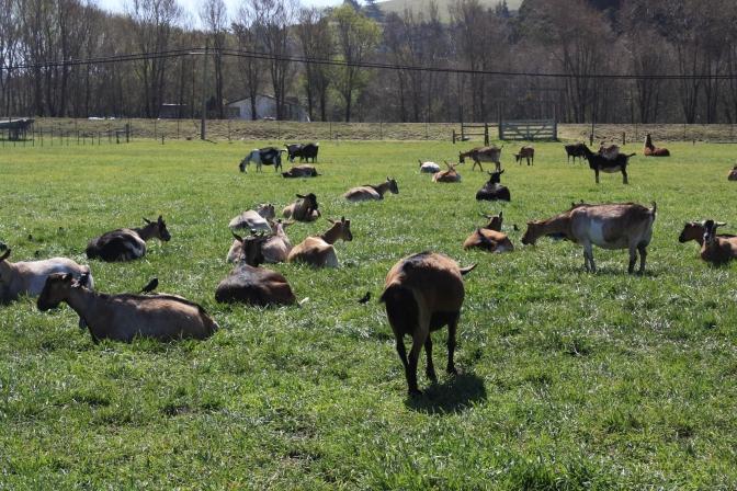 Visit to a Goat Farm in Pescadero, California