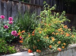 Yellow lantana gracefully arching over the retaining wall
