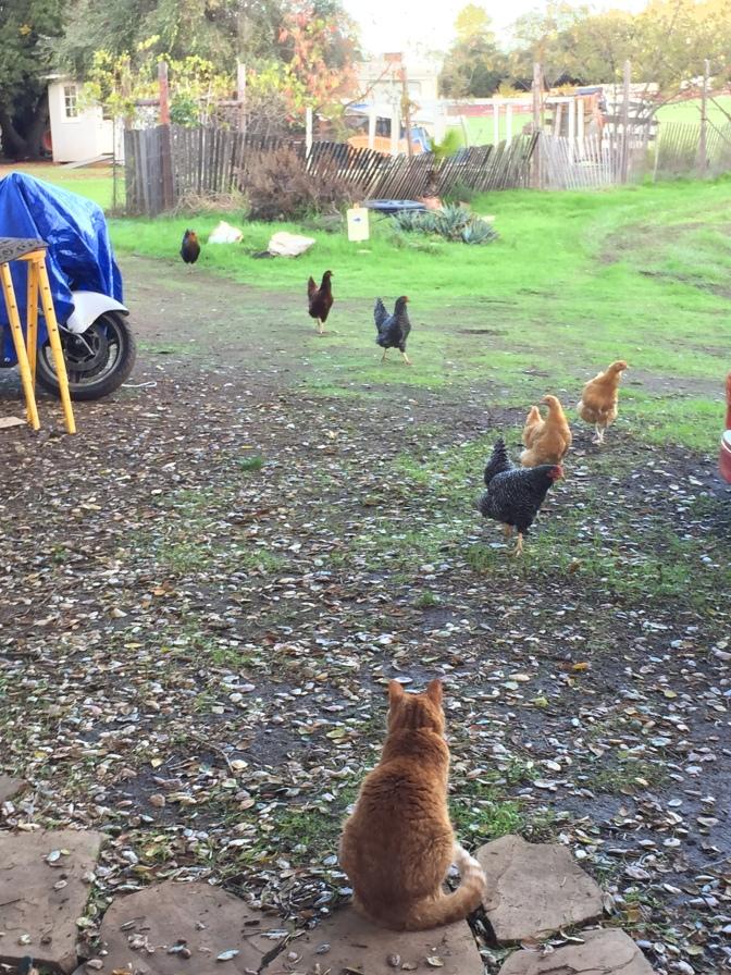 Chicken Speak