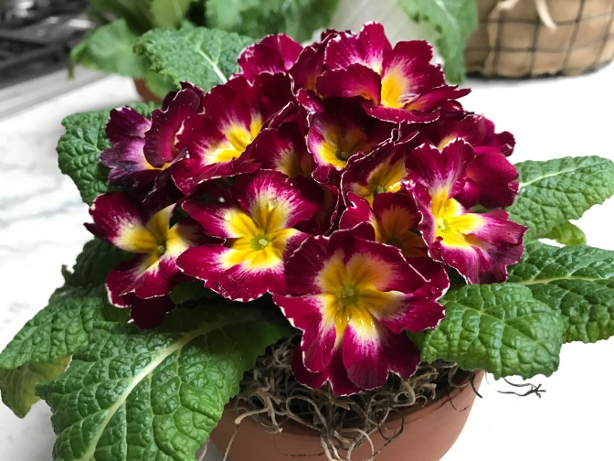 Primrose. A Delightful Winter Flower