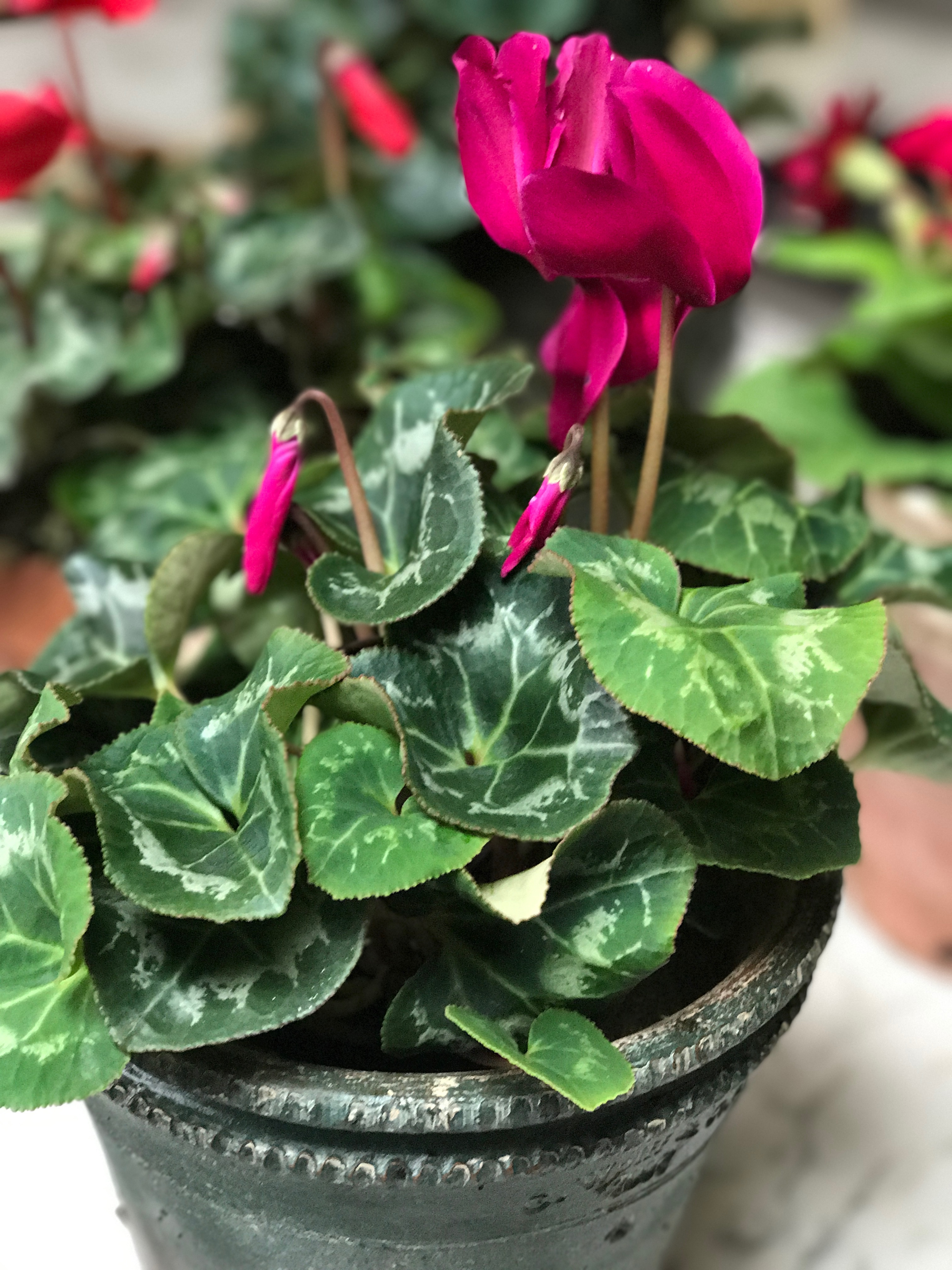 cyclamen come in beautiful shades ranging from white to pale pink coral to red new varieties are now available which are bicolor with ruffled flowers