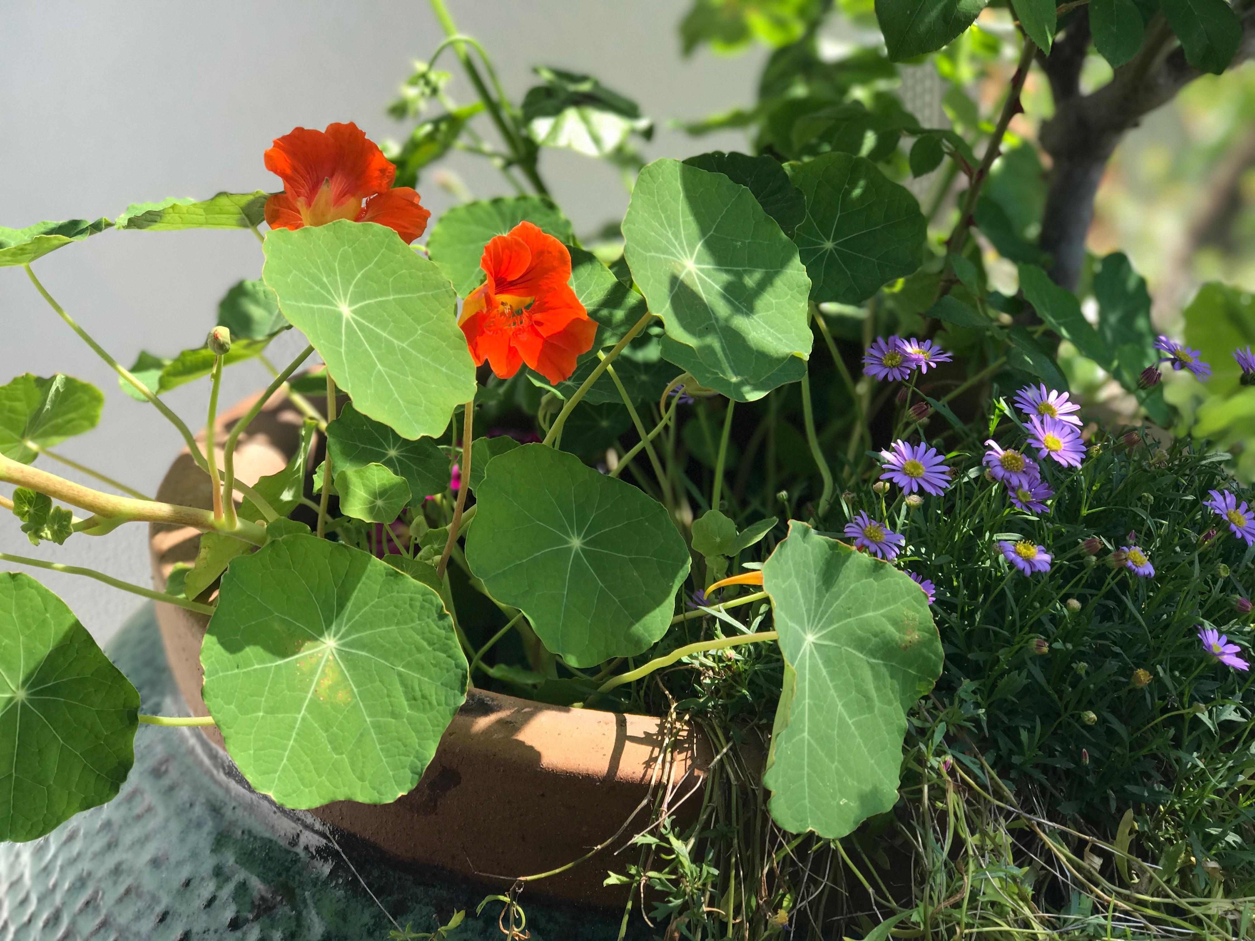 The Cheery Nasturtium Surreyfarms A serene haven in the
