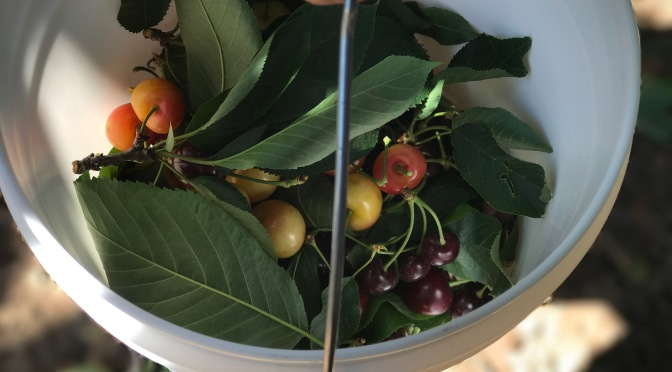 Cherry Picking at Andy's Orchard in Morgan Hill, California