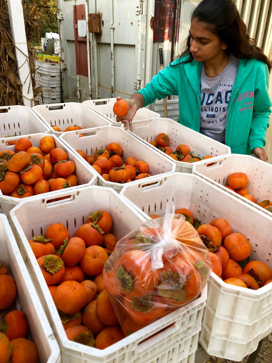 Persimmon Picking in Silicon Valley