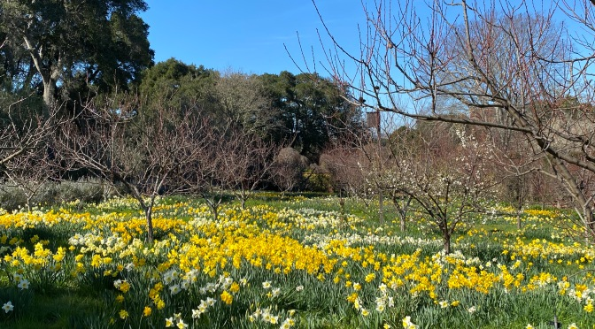 Friday Flowers. Daffodil Daydreams at Filoli Gardens