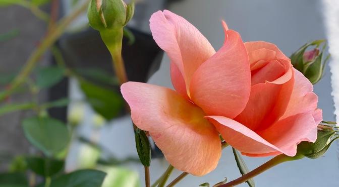 First Spring Rose
